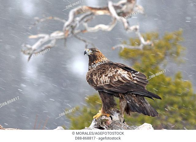 Golden Eagle (Aquila chrysaetos) on hare, Norway