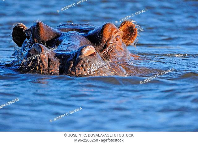 Hippopotamus swims close to boat, Chobe River, Botswana, Africa