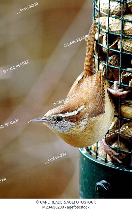 A carolina wren (thyrothorus ludovicianus), look around on a peanut feeder, Pennsylvania, USA