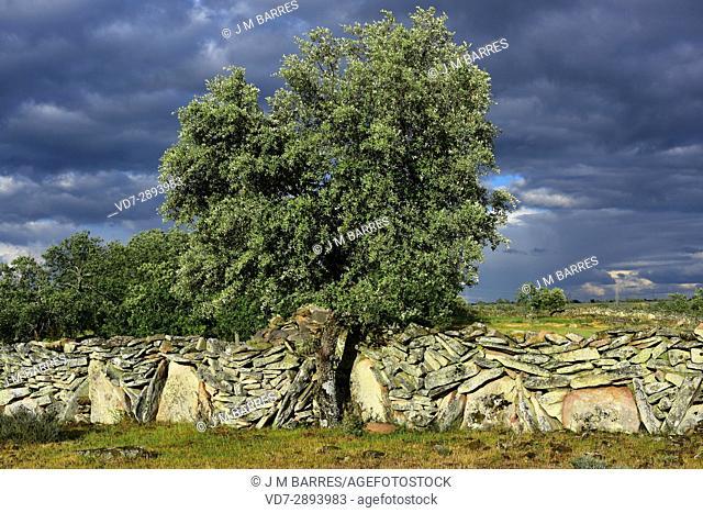 Popular architecture. Drystone wall (cortinas in local name) building with granite blocks and holm oak (Quercus ilex). Sayago, Zamora Province, Castilla-Leon