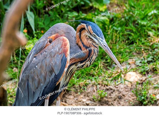 Purple heron (Ardea purpurea) native to Africa, Europe and Asia