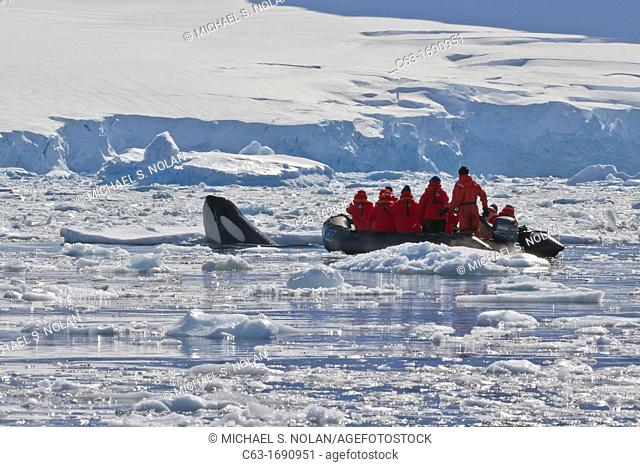 A young adult Pack Ice Type B killer whale Orcinus orca spy-hopping near a Zodiac in Dorian Bay 64º 46 85' S 63º 28 25'W near the Antarctic Peninsula