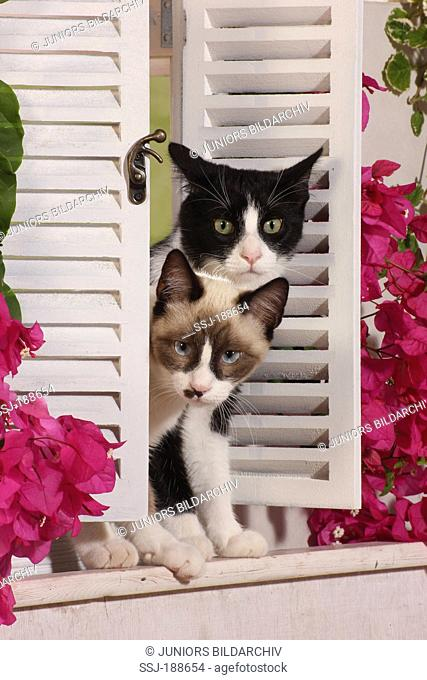 Domestic cat. Two kittens (6 month old) looking through a white shutter. Spain