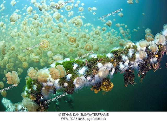 Endemic Anemones feeding on Mastigias Jellyfish, Entacmaea medusivora, Mastigias papua etpisonii, Micronesia, Palau