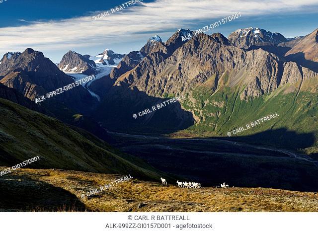 Dall Sheep on a ridge overlooking Eklutna River, Eklutna Glacier, Chugach State Park, Southcentral Alaska, Autumn