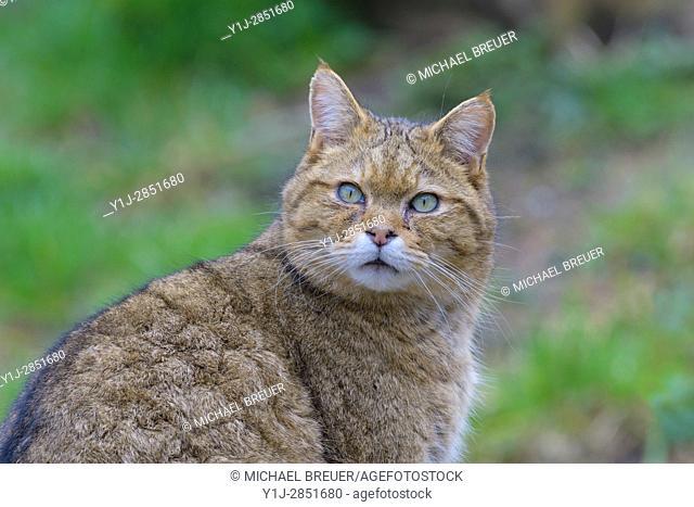 Wildcat (Felis silvestris), Hesse, Germany, Europe