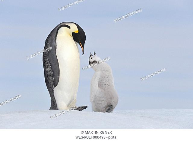 Antarctica, Antarctic Peninsula, Emperor penguin with chick on snow hill island