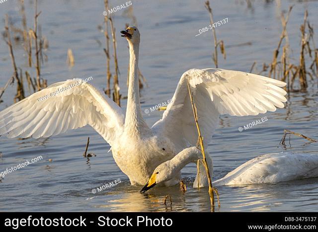 Chine, Province de Henan, Sanmenxia, Cygne chanteur ou Cygne sauvage (Cygnus cygnus), / China, Henan ptovince, Sanmenxia, Whooper swan (Cygnus cygnus)