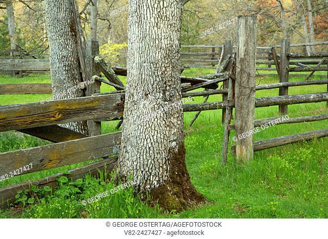 Corral with oaks, Catherine Creek Day Use Area, Columbia River Gorge National Scenic Area, Washington
