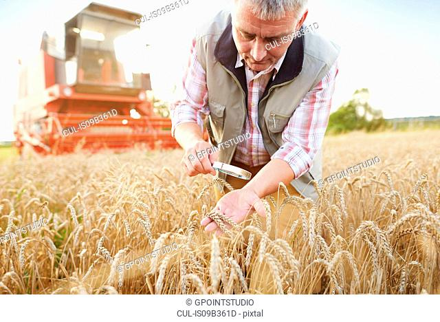 Farmer in wheat field quality checking wheat with magnifying glass