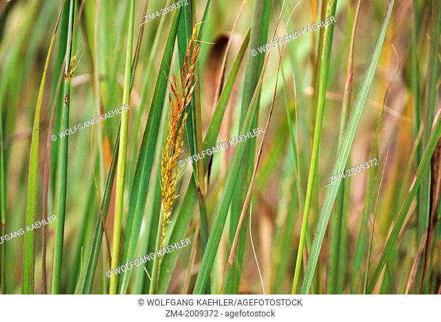 OKLAHOMA, NEAR PAWHUSKA, TALLGRASS PRAIRIE PRESERVE, INDIAN GRASS