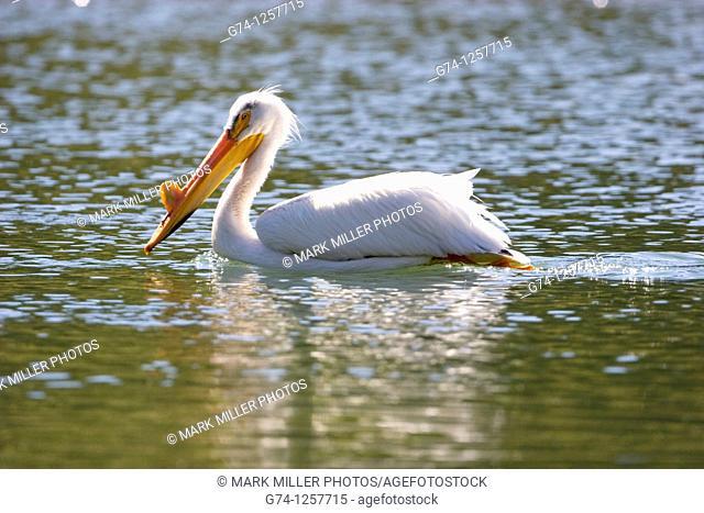 American White Pelican , Yellowstone National Park USA