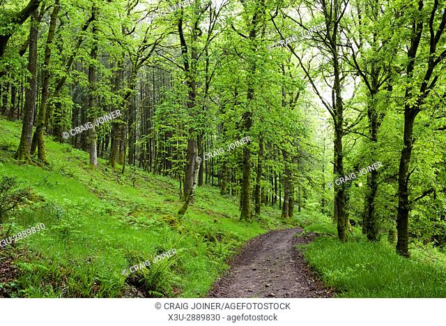 A pathway though woodland in spring in Exmoor National Park near Dulverton, Somerset