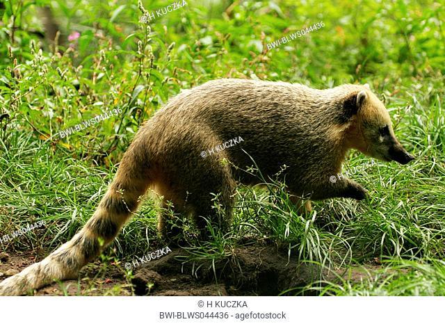 coatimundi, common coati, brown-nosed coati Nasua nasua, searching