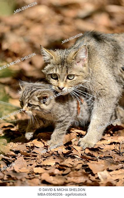 European wildcats, Felis silvestris silvestris, dam, young animal, looking at camera