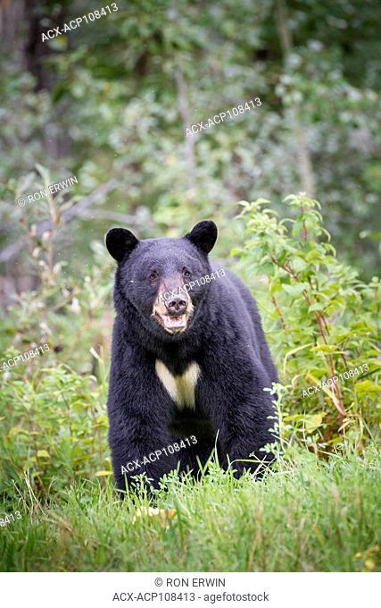 Black Bear (Ursus americanus) in northern British Columbia near the Yukon border