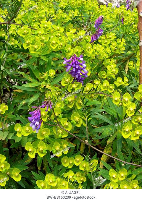 Woody Spurge (Euphorbia dendroides), blooming plant together with hairy vetch, Italy, Sicilia