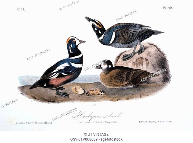 Harlequin Duck, Hand-Colored Etching from the Book The Birds of America by John James Audubon, circa 1830's