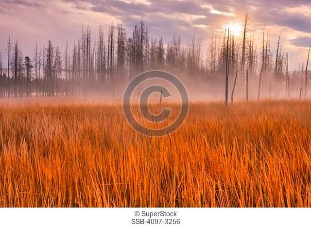 Tall grass in a field, Firehole River Valley, Yellowstone National Park, Wyoming, USA