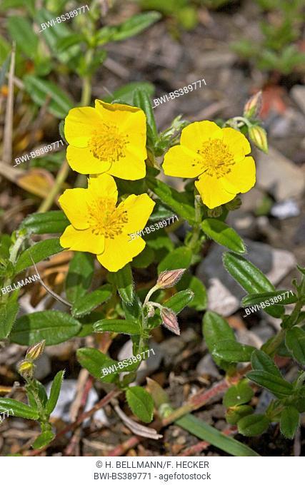 common rock-rose (Helianthemum nummularium), blooming, Germany