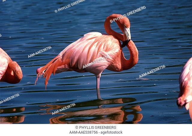 Greater Flamingo (Phoenicopterus ruber), Metro Zoo, Miami, Florida