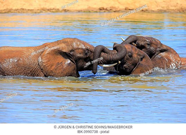 African elephant (Loxodonta africana) elephants bathing in the water, social behavior, Addo Elephant National Park, Eastern Cape, South Africa