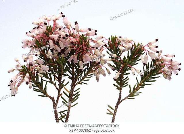 Heather Erica multiflora