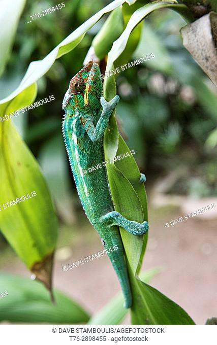 Colourful Panther chameleon (Furcifer pardalis), Andasibe-Mantadia National Park, Madagascar