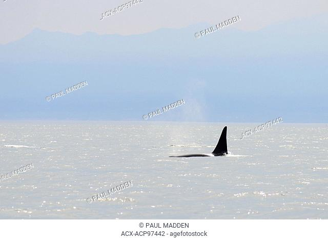 Orca whales, Orcinus orca, off Vancouver Island near Victoria, BC, Canada