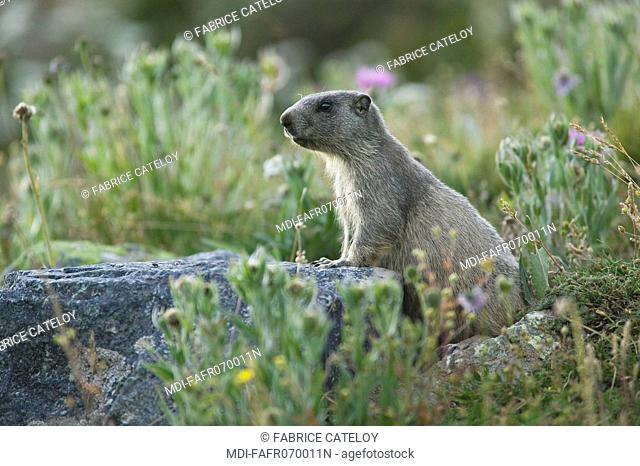 Young marmot watching around in the natural regional park of Queyras