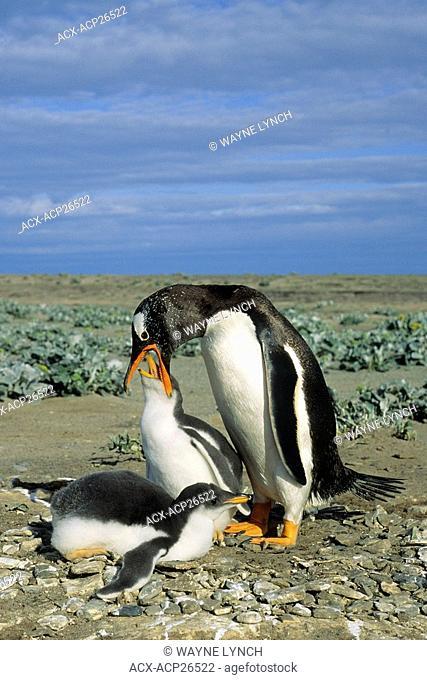 Adult gentoo penguin Pygoscelis papua feeding a chick, Falkland Islands
