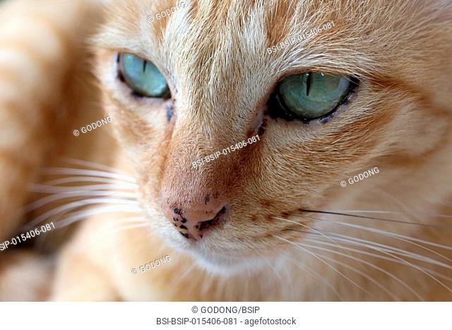 Close-up on a cat's face. Thailand