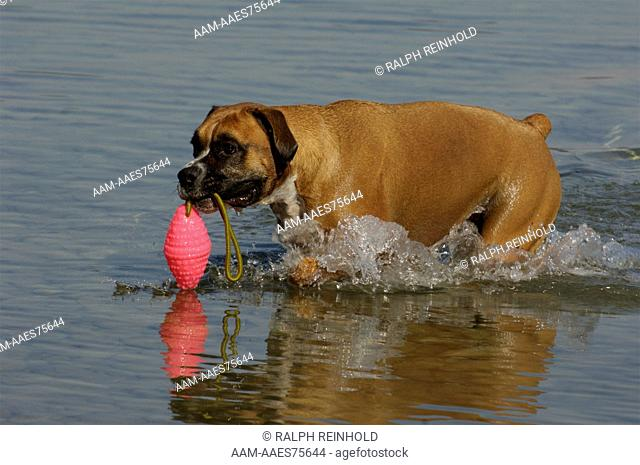 Boxer, Barrie, Ontario, Canada playing in the water