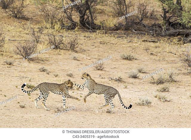 Cheetah (Acinonyx jubatus). Two playful subadult males in the dry and barren Auob riverbed. During a severe drouight. Kalahari Desert