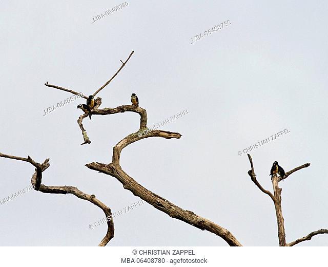 black-thighed falconet, (Microhierax fringillarius), Kaeng Krachan, Phetchaburi, Thailand