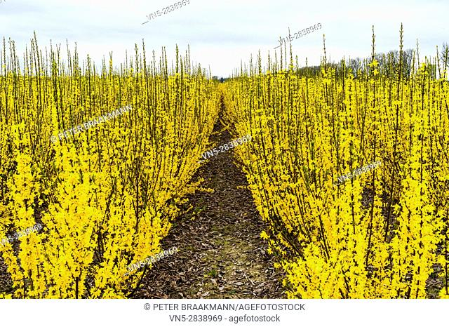 Oud Gastel - The Netherlands - A field of yellow forsythia