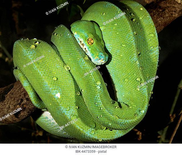 Emerald tree boa (Corallus caninus), captive, native to South America