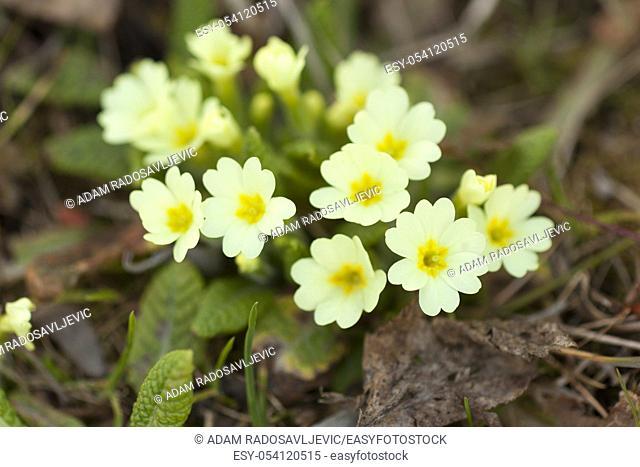 Primrose spring flower