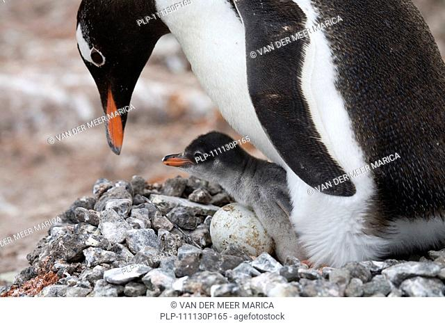 Gentoo Penguin Pygoscelis papua with chick and egg in nest in rookery at Port Lockroy, Antarctica