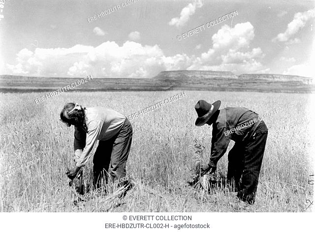 ZUNI TRIBE-Pictured are two Zuni reapers harvesting their spring wheat with ordinary sickles. - CPL Archives/Everett Collection
