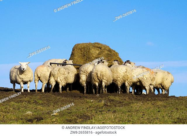 Sheep feeding from hay feeder. Hexham, Northumberland, England, United Kingdom, Europe