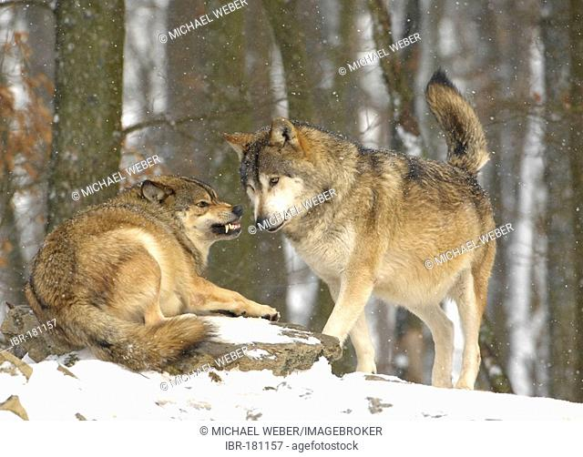 Canadian timber wolves (canis lupus occidentalis) in winter