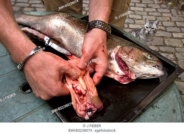 rainbow trout Oncorhynchus mykiss, Salmo gairdneri, young man disemboweling a fish just caught under the interested look of a domestic cat, Germany