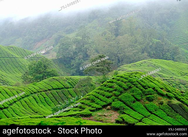 Tea Plantation, Cameron Heightland, Malaysia
