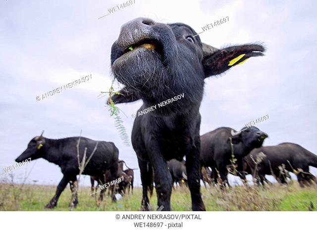 herd of Carpathian water buffalo - this subspecies European Wild Water Buffalo or water buffalo (Bubalis murrensis), readaptation animals in East Europe