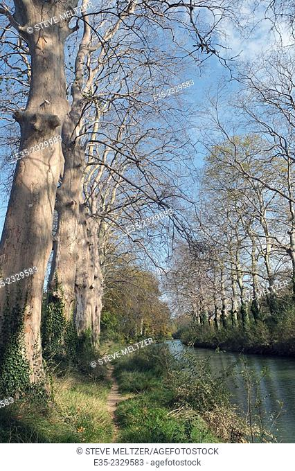 Thousands of plane trees, some one or two hundred years old, have been killed by a cancre, a fungus disease