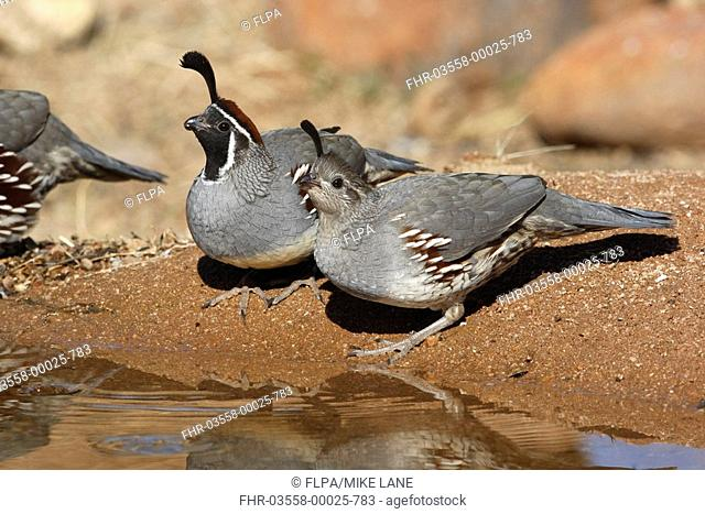 Gambel's Quail Callipepla gambelii adult pair, drinking, Arizona, U S A , winter
