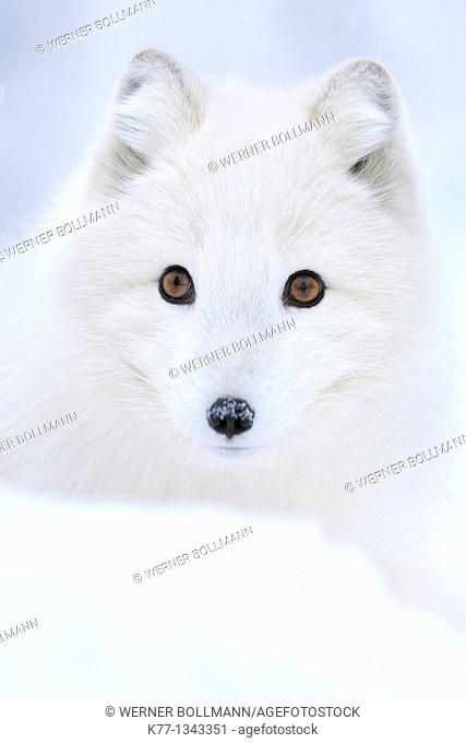Arctic/Polar Fox (Alopex lagopus), Captive, Norway, February 2010