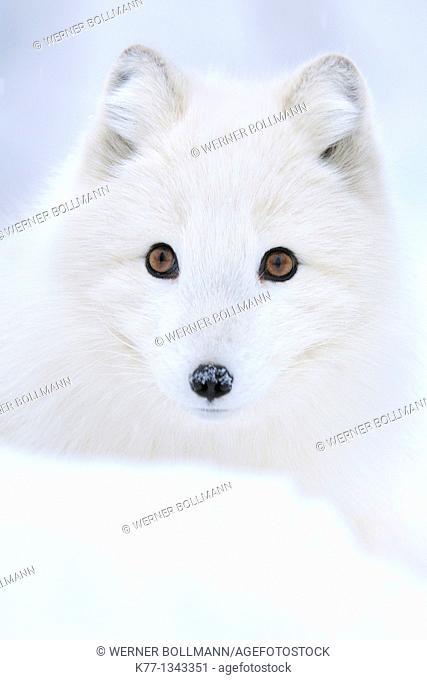 Arctic/Polar Fox (Alopex lagopus), Captive, Norway, February 2010