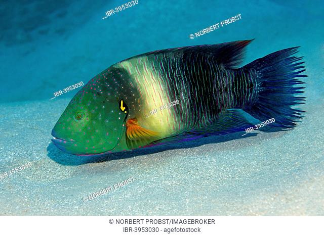 Broomtail Wrasse (Cheilinus lunulatus), Makadi Bay, Red Sea, Hurghada, Egypt